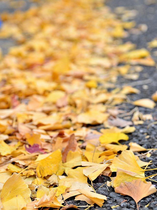 歩道に落ち葉が満開な水曜の朝 ヽ(^0^)ノ