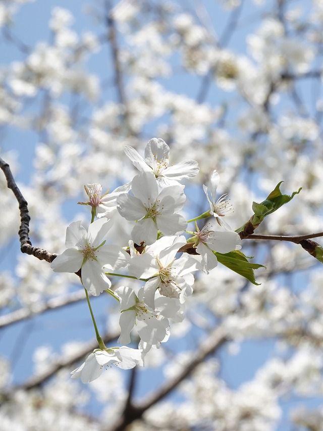 咲き誇る桜、年度納めの土曜日の朝(o^∇^o)